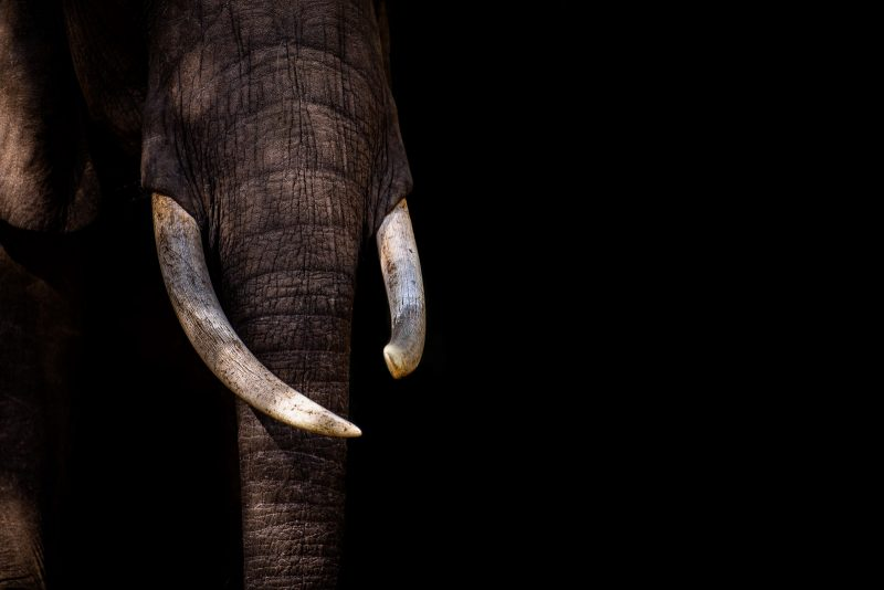 Low-key photograph of an elephant's trunk and tusks against a black background