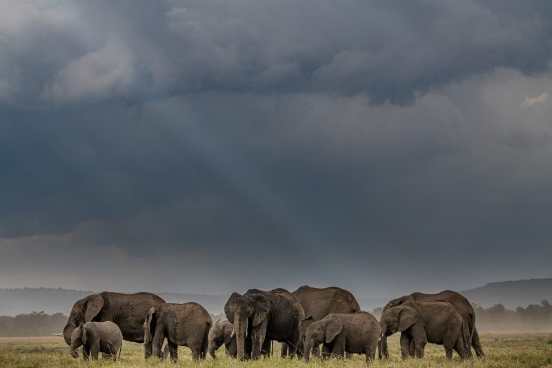 Photograph of a heard of African elephants within their environment