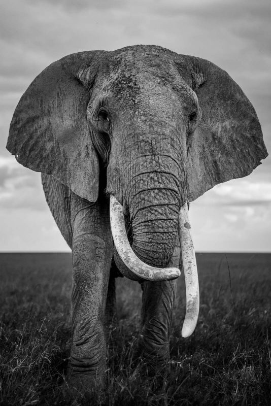 Black and white photograph of an elephant looking at the camera