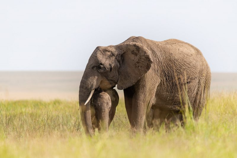 Photograph of mother elephant and calf