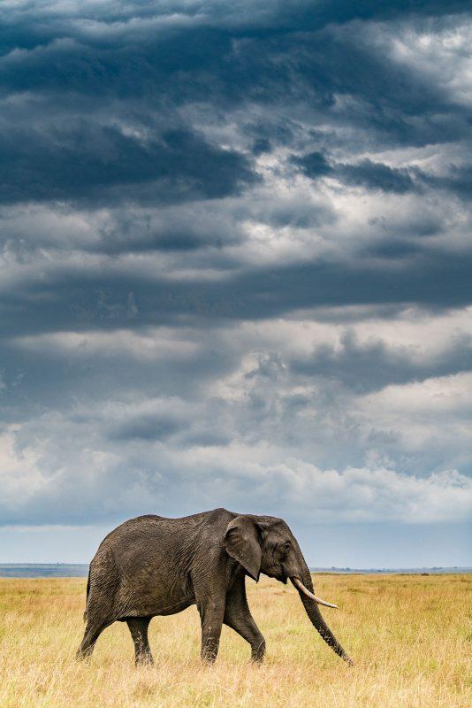 Portrait photograph of an elephant shown within it's landscape