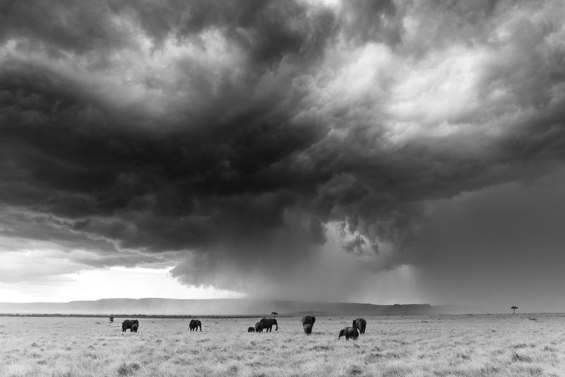 Black and white photo of a heard of elephants with a large storm cloud above and behind them