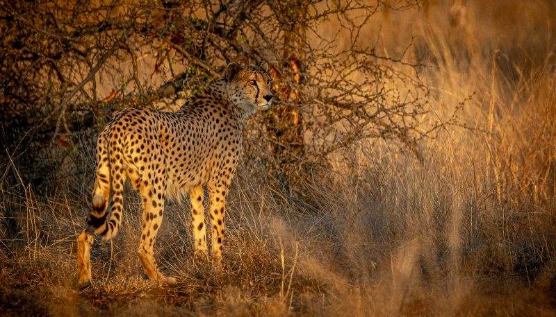 Cheetah photographed in low-lighting at golden hour