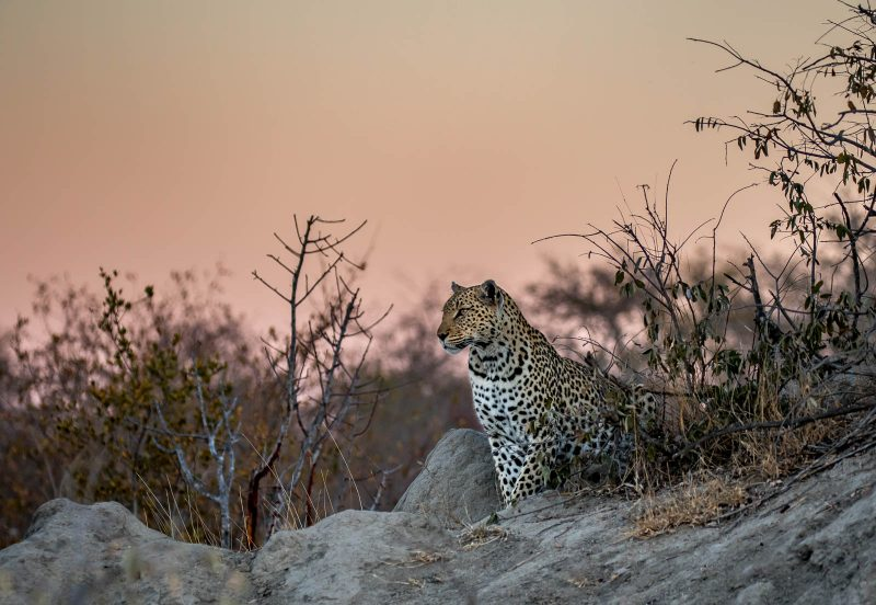 Twilight leopard