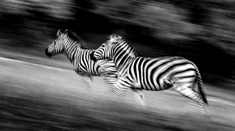 Black and white panning shot of zebra running