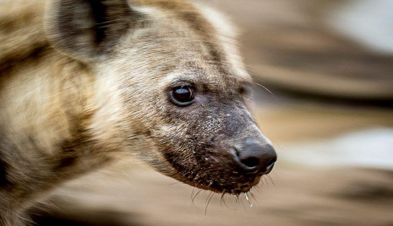 slow shutter speed portrait of a hyena