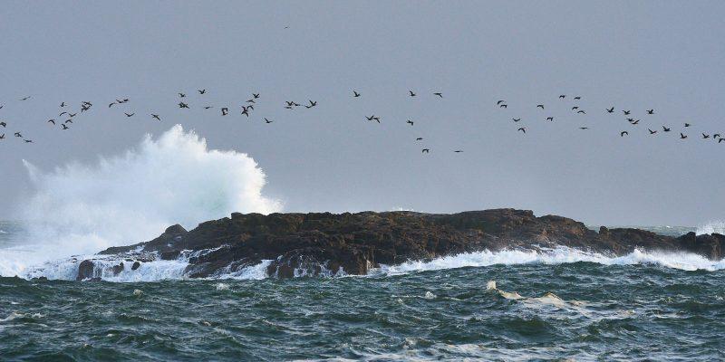 cormorants andwave