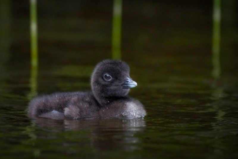 baby loon