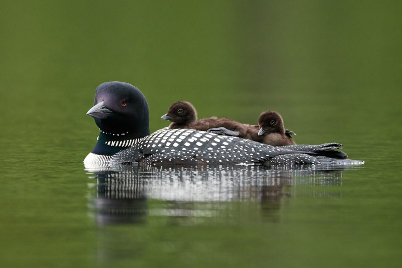 loon with babies