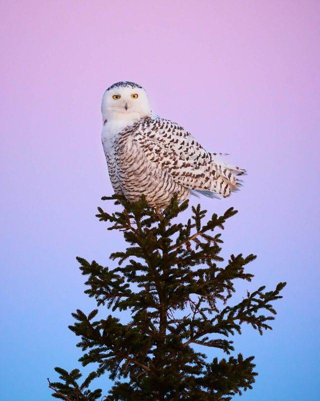 snowy owl Arcadia National Park