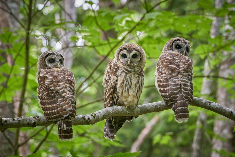 3 barred owls