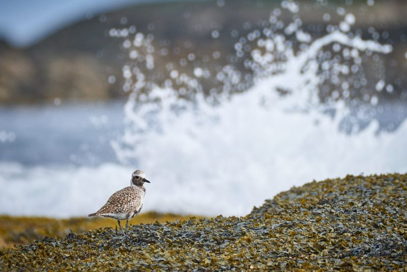 plover and waves