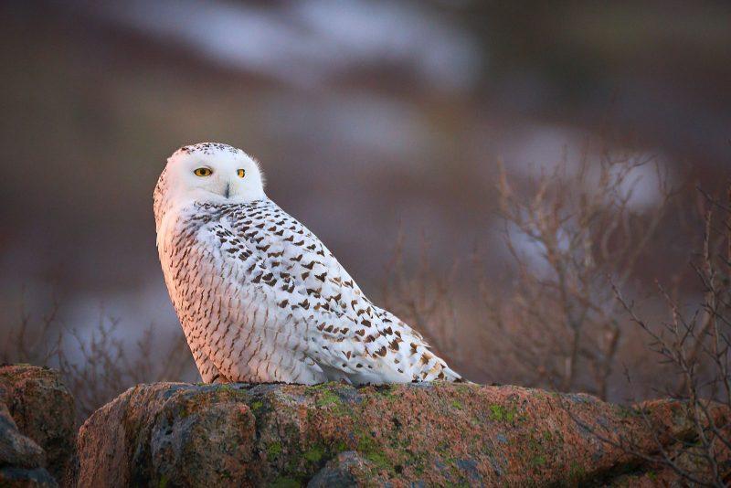 snowy owl on rock