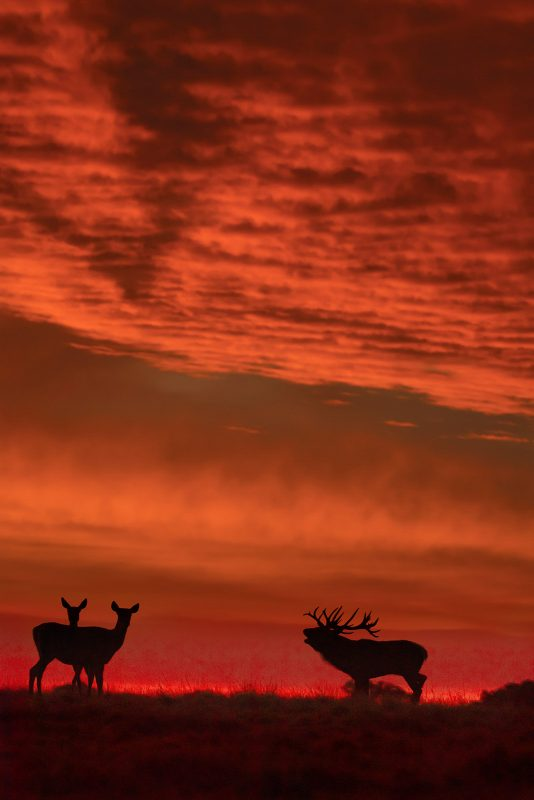 Red deer stag and does silhouetted against a red sky