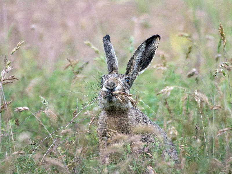 Brown hare eating in a field