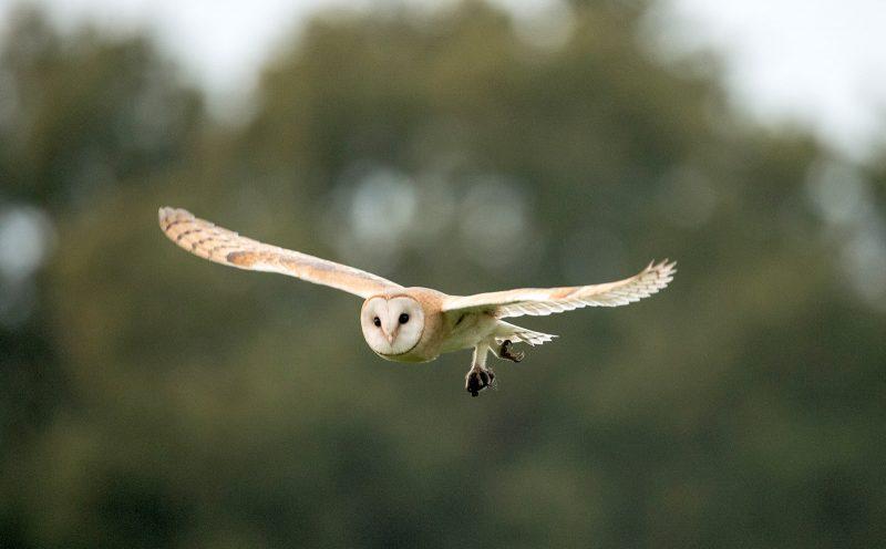 Barn owl in flight holding prey