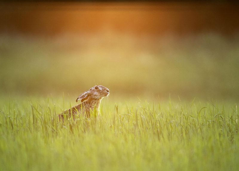 Brown hare sniffing the air photographed at dusk