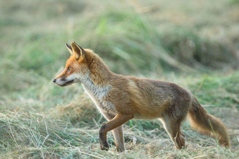 Fox photography using fieldcraft