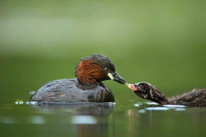 Little grebe feeding chick taken using a floating hide