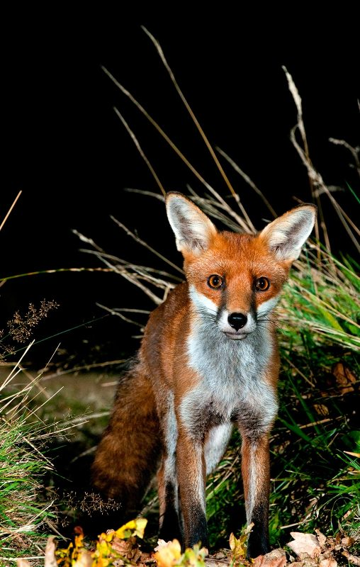 Fox photographed at night