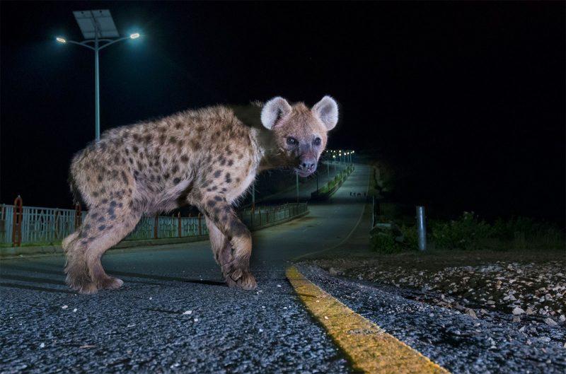 hyena urban wildlife Sam Rowley