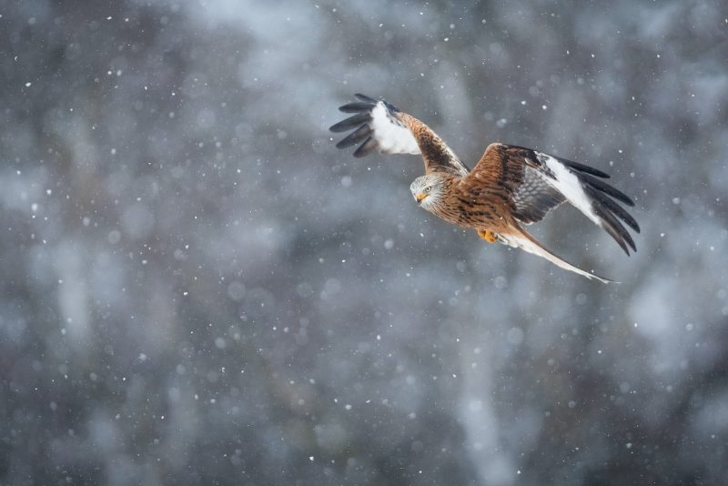 A red kite flies through snow