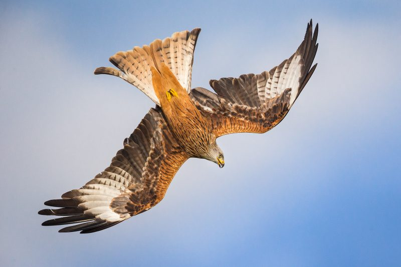 Action shot of a red kite diving down