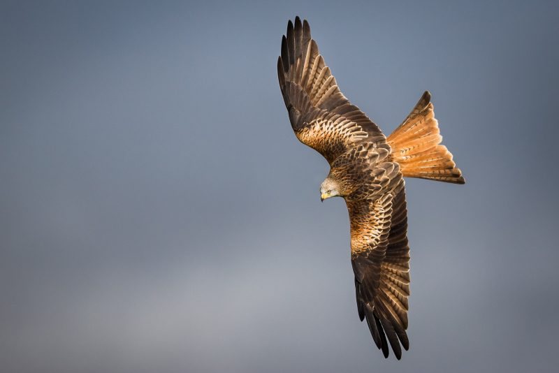 Flight shot of a Red Kite