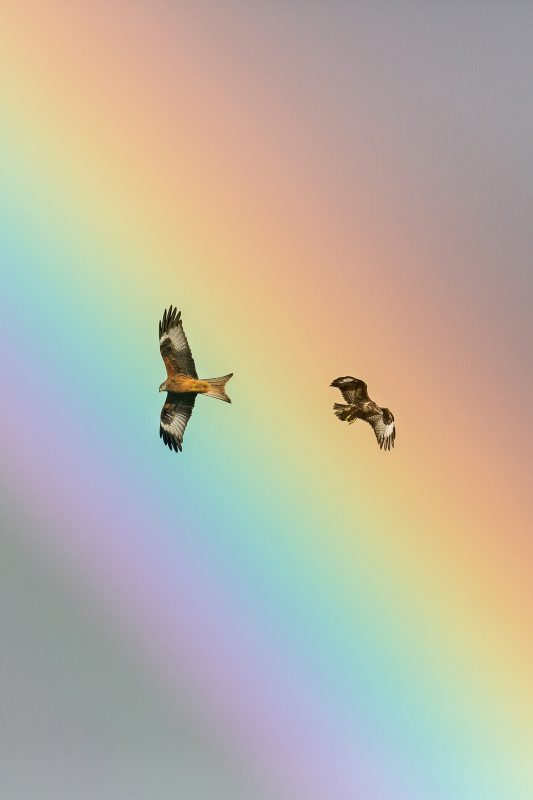 A red kite and buzzard fly close to each other with a rainbow background