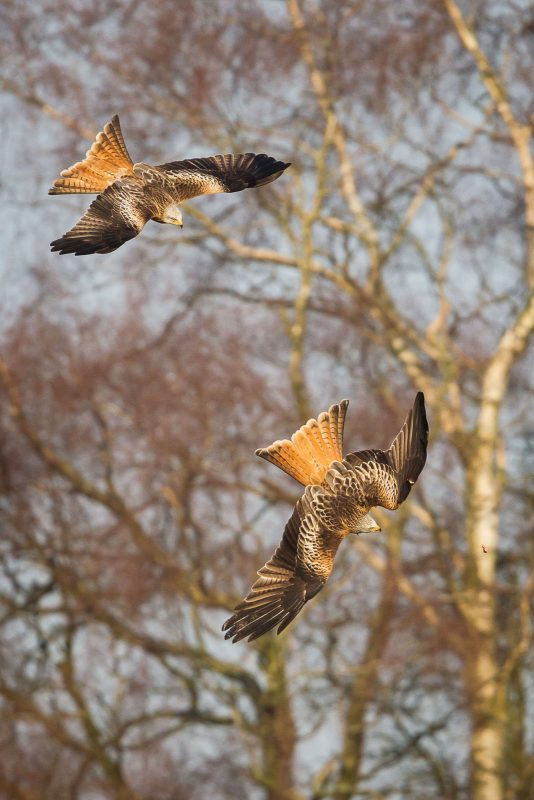 Two red kites chase food at a feeding station