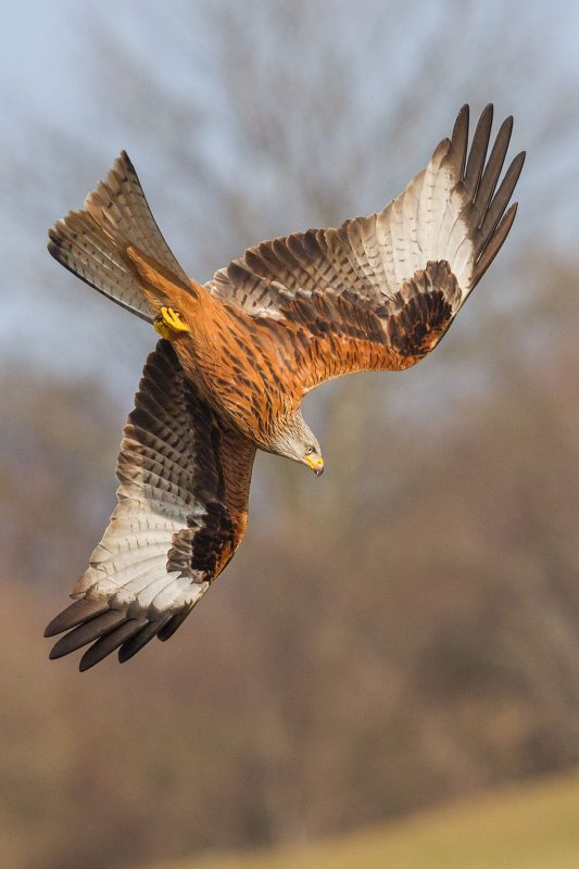 Portrait shot of a red kite flying