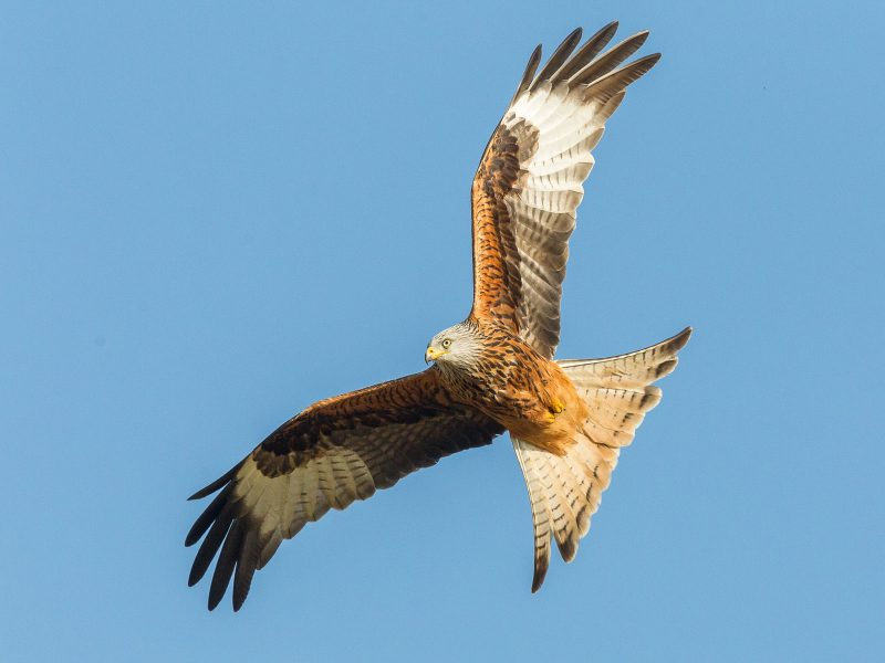 Red kite against a blue sky