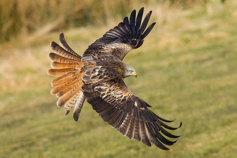 Bird of prey acrobatics
