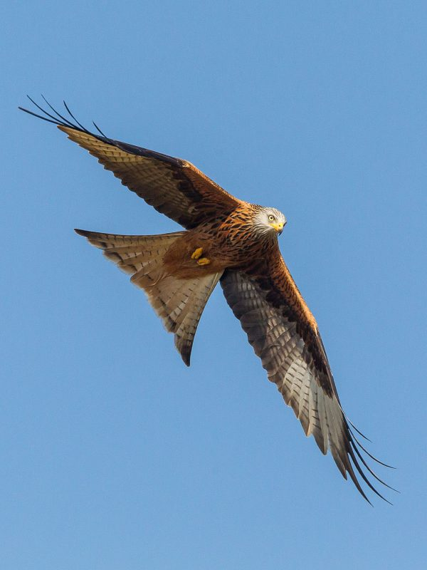 Red Kite photography