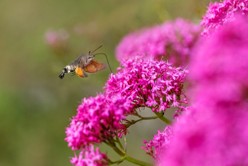 A hummingbird hawkmoth hovers beside a red valerian in summer