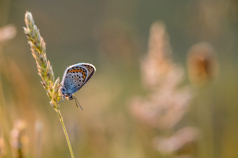 A male silver-studded blue butterfly roosts on grass at Upton Towans