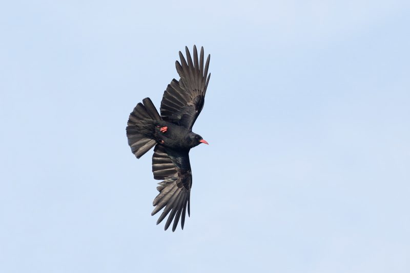A chough in flight captured with a 300mm f2.8 lens and 2x teleconverter