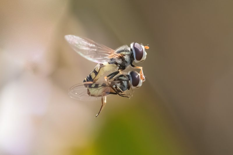 Hoverflys mating while flying