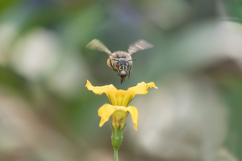 Blue Banded Bee hovering in flight above yellow flower
