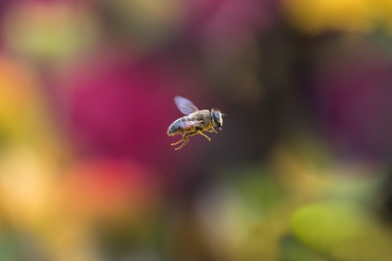 Hoverfly flying against colourful background