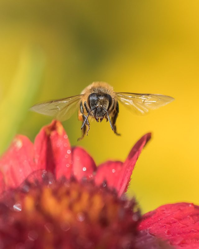 Honey bee hovering above a red flower