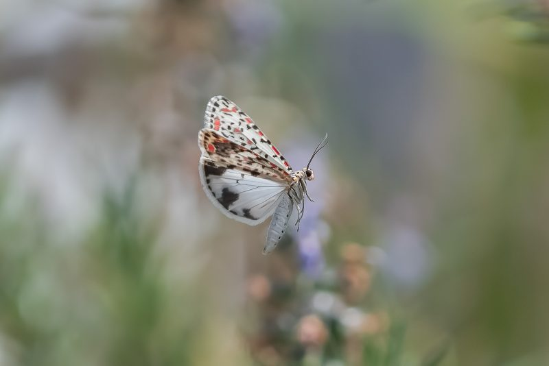 Moth photographed in flight
