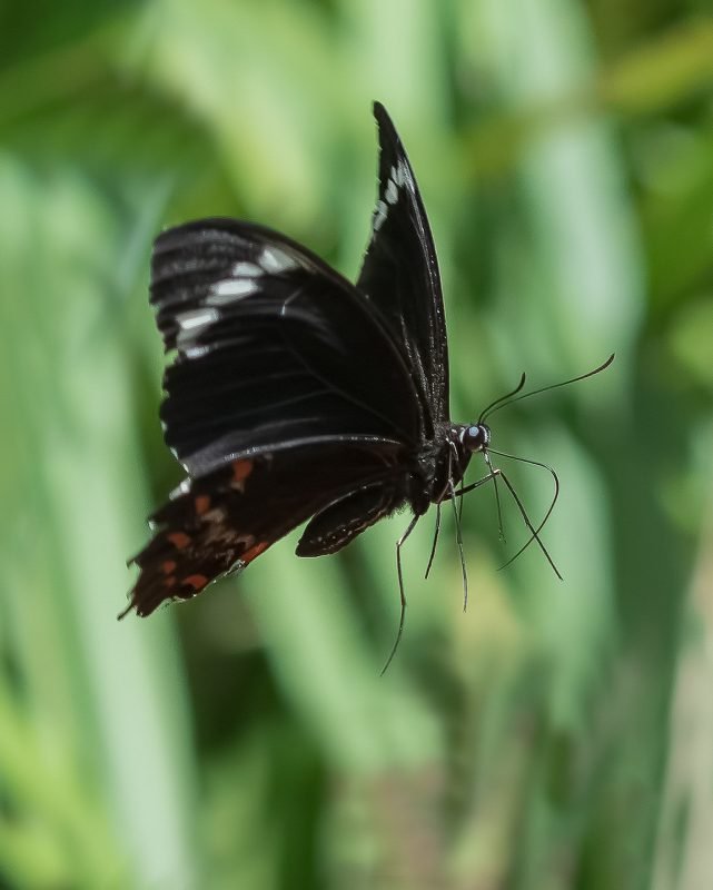 Black Butterfly flying