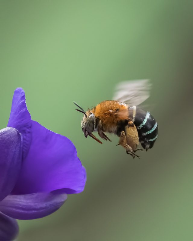 Blue Banded Bee hovering by purple flower