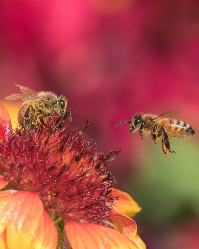 Honey bees on a red flower