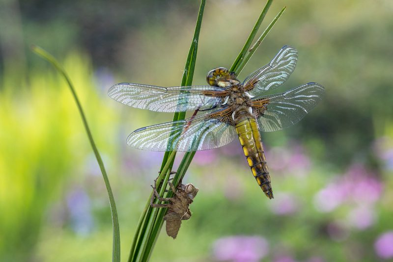 Fully emerged dragonfly