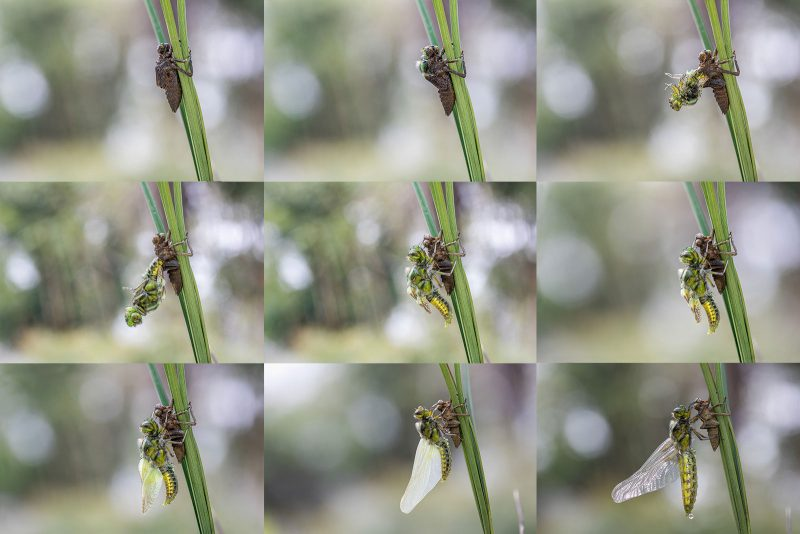 Sequence showing Broad-bodied chaser emergence