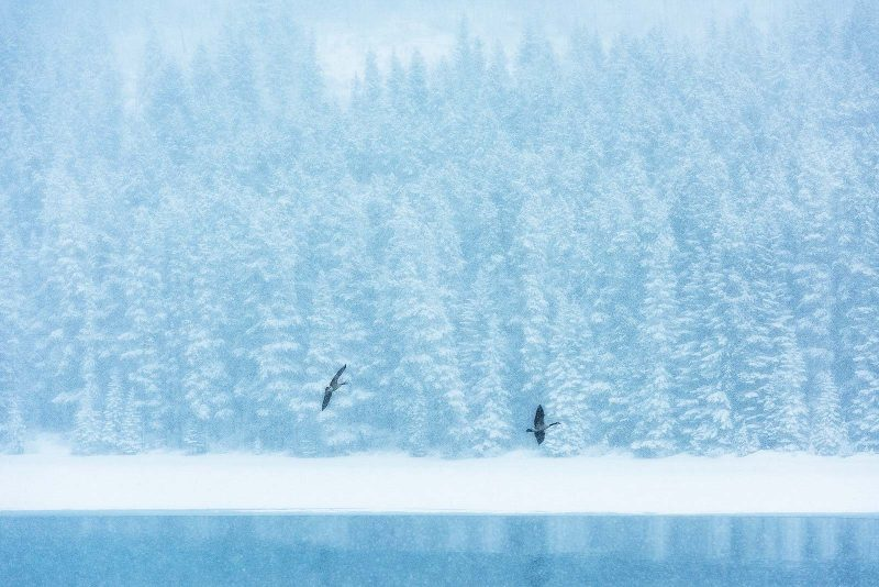 Geese fly in front of a snow landscape