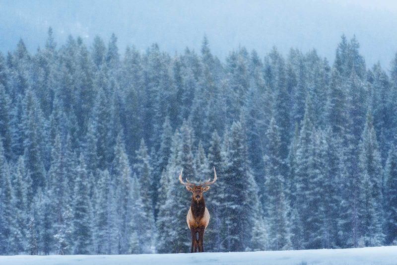 Stag stands in front of a winter forest