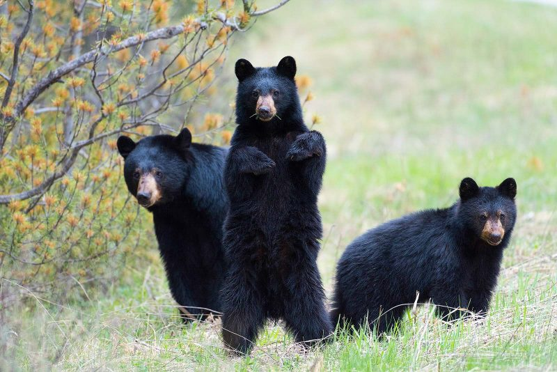 Mother bear and 2 cubs